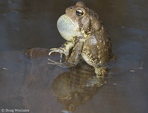 American Toad calling _A5E9798.jpg - 50758 Bytes