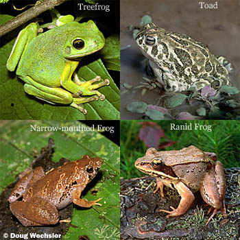 barking treefrog great plains toad bornean narrow mouthed frog wood frog - Picture Of A Frog