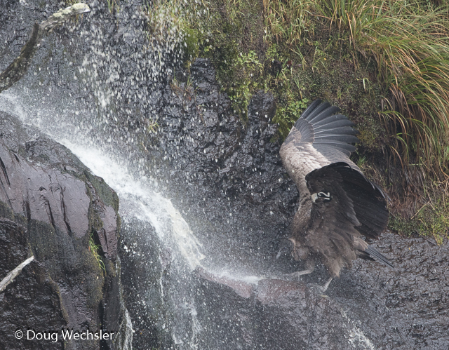 Juvenile Andean Condor bathing in waterfall
