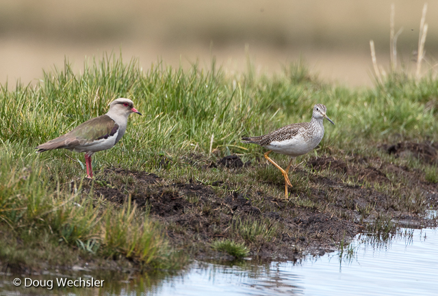 Greater Yellowlegs joins an Andean Lapwing