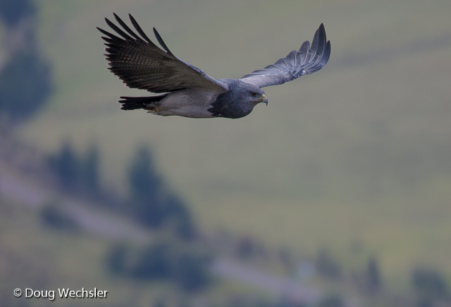 Black-chested Buzzard-Eagle adult soars by