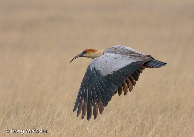 Black-faced Ibis in flight