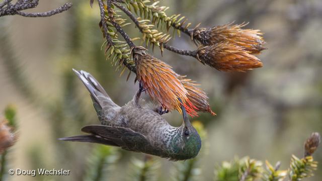 Female Ecuadorian Hillstar feeds from Chuquiragua bush