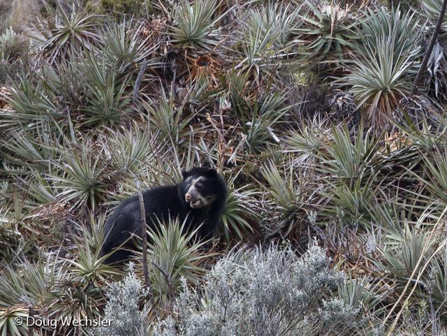 spectacled bear Antisanilla