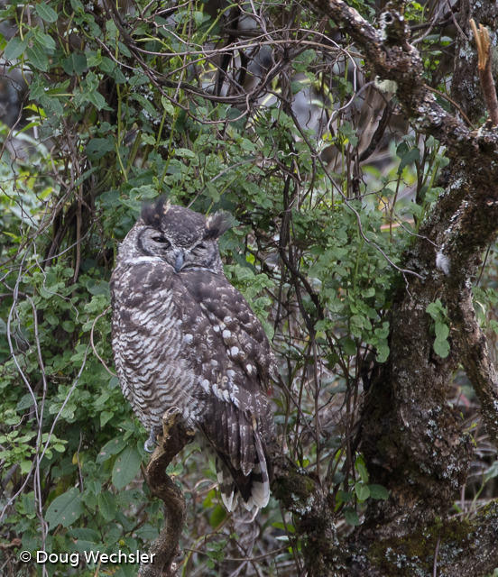 Great Horned Owl daytime roost