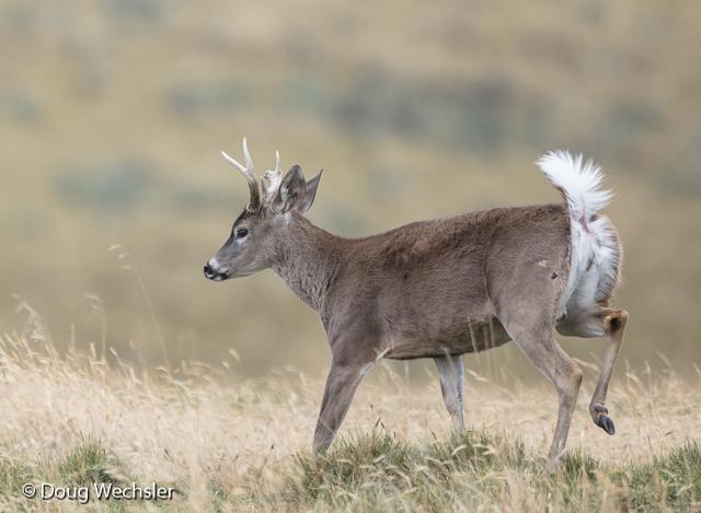 white tailed deer Antisanill