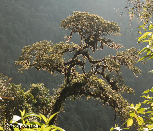 Cloud Forests tree