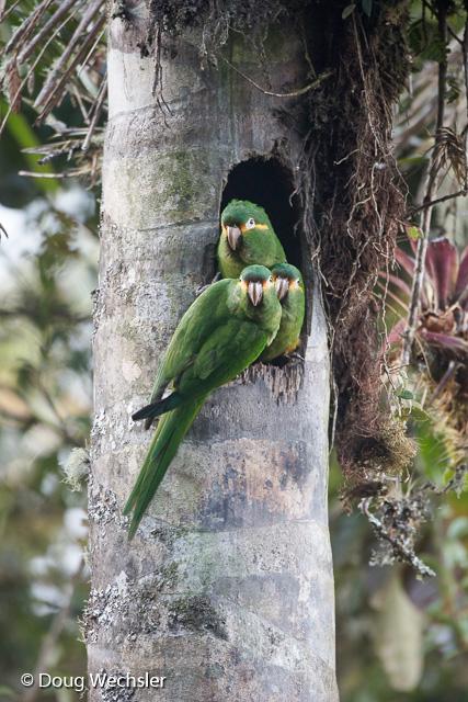 Golden-plumed Parakeet at nest cavity