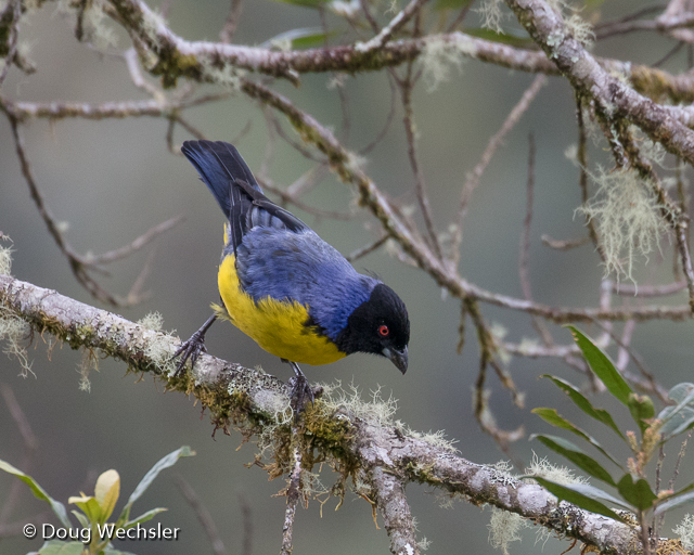 Hooded Mountain Tanager, largest member of the family