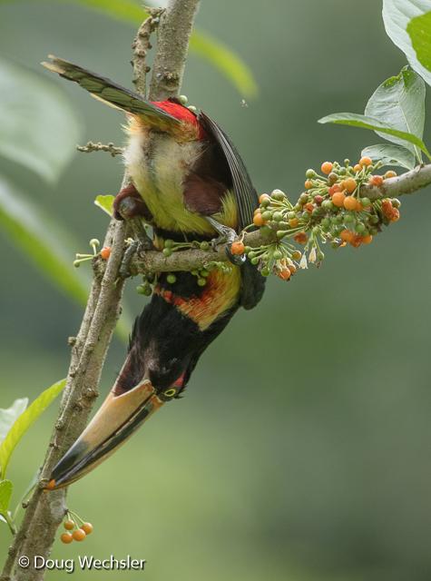 Pale-billed Aracari