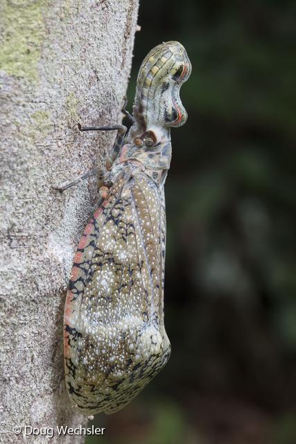 Peanuthead Bug or Machaca, Fulgora