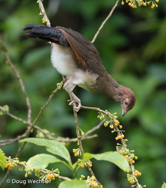 Rufous-headed Chachalaca juvenile