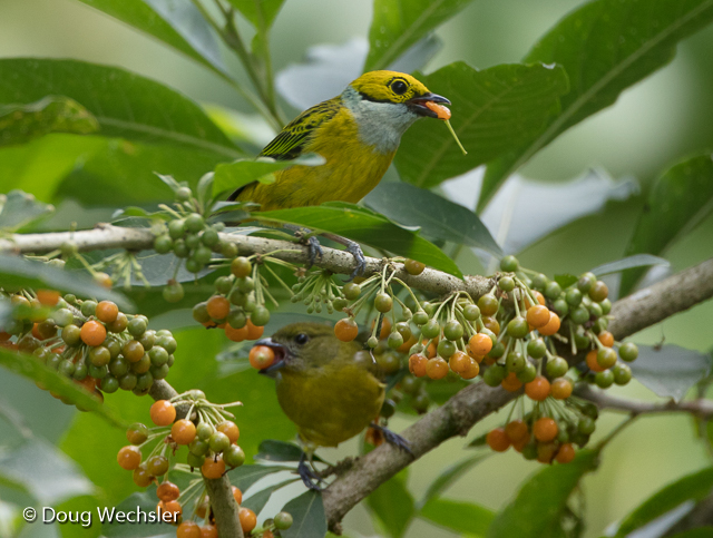 Silver-throated Tanager and Thick-billed Euphonia
