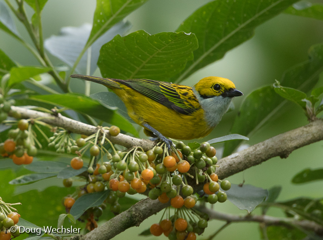 Silver-throated Tanager and pico-pico