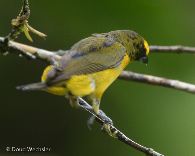 Thick-billed Euphonia, wiping mistletoe seeds onto branch