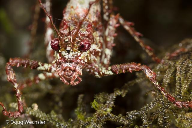 A cryptic katydid