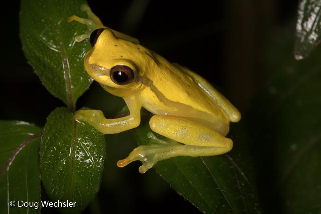 Red-skirted Treefrog, Dendropsophus rhodopeplus