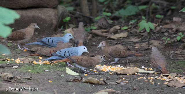 Blue Ground-Dove males and females