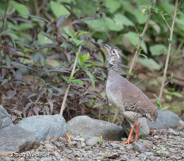 Pale-browed Tinamou calling