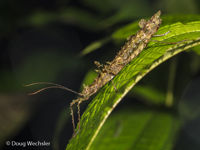 Phasmid stick insect