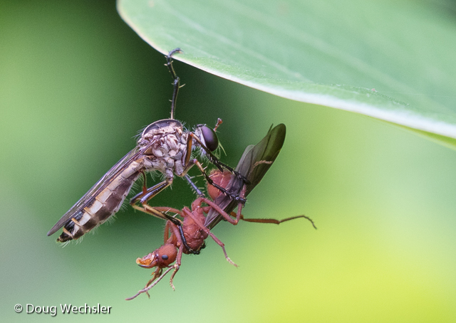 Robber Fly preys on male leafcutter ant