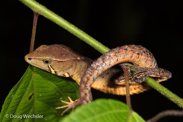Somber Stream-Lizard