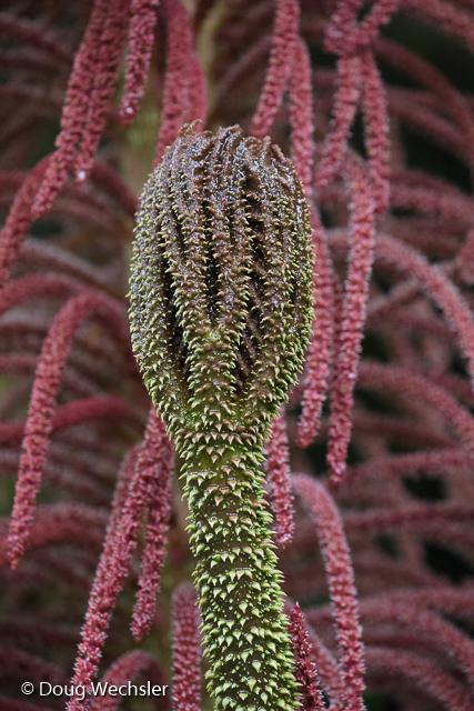 Young Gunnera leaf