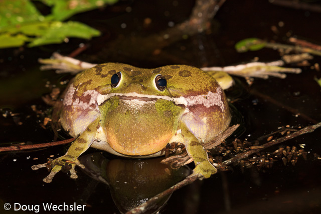 Barking Treefrog, Hyla gratiosa in a seasonal pond