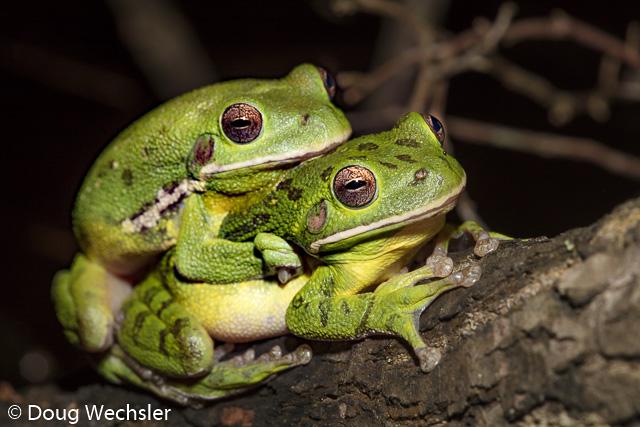 Barking Treefrogs amplexus