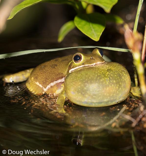 male barking treefrog