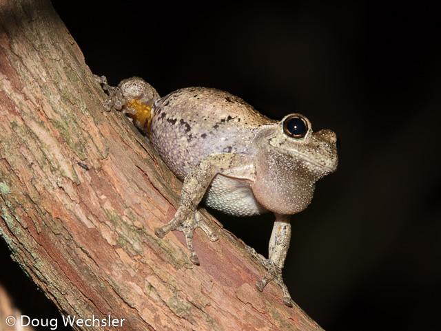 Cope's Gray Treefrog male