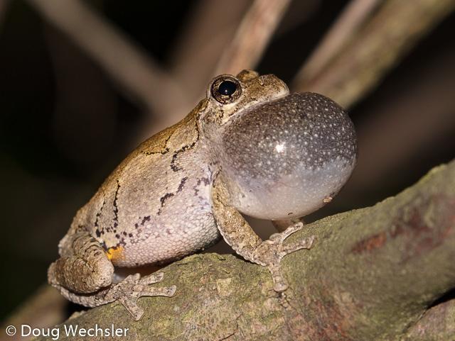 Eastern Gray Treefrog,